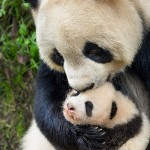 Movie Review: Disneynature Born in China #BornInChina