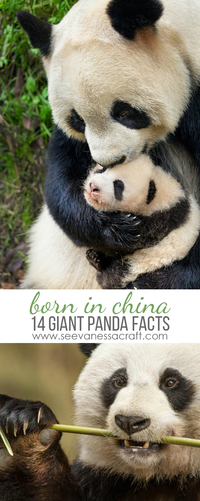 Disney Born In China Giant Panda Fun Facts